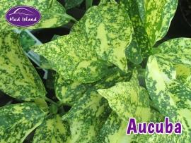 shrubs-aucuba