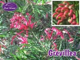 shrubs-grevillea