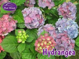 shrubs-hydrangea