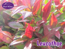 shrubs-leucothoe