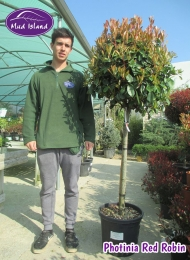 18-photinia-red-robin