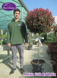 19-photinia-little-red-robin