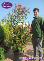 32-photinia-red-robin