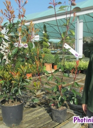 4-photinia-red-robin