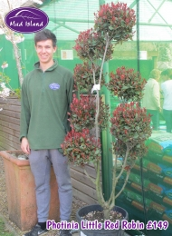9-photinia-little-red-robin