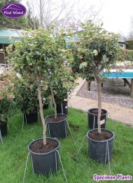 specimen-plants-hampshire-65