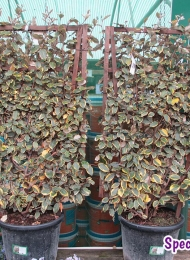 specimen-plants-hampshire-66