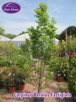 tree-carpinus-betulus-fastigiata