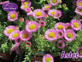 alpines-aster