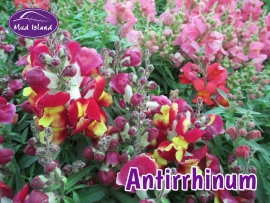 bedding-antirrhinum