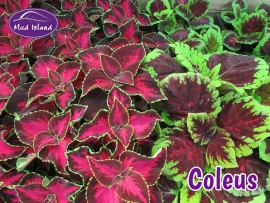 bedding-coleus
