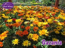 bedding-gazania