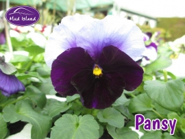 bedding-pansy