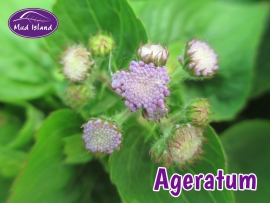 bedding-plants-ageratum