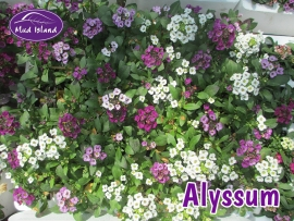 bedding-plants-alyssum