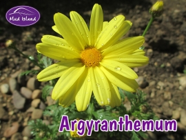 bedding-plants-argyranthemum