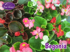 bedding-plants-begonia