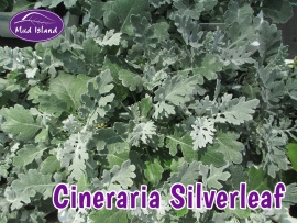 bedding-plants-cineraria-silverleaf
