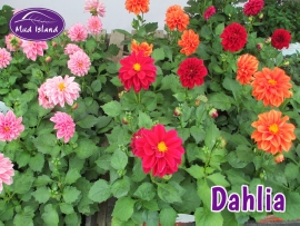bedding-plants-dahlia