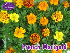 bedding-plants-french-marigold