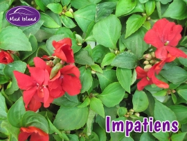 bedding-plants-impatiens