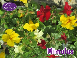 bedding-plants-mimulus