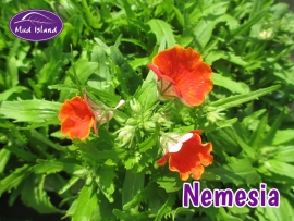 bedding-plants-nemesia