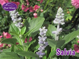 bedding-plants-salvia