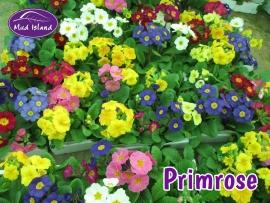 bedding-primrose