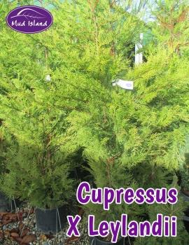conifers-cupressus-x-leylandii