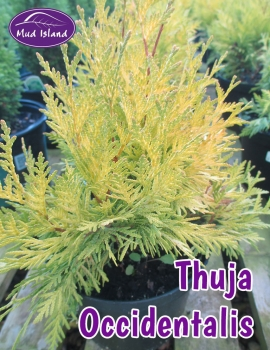 conifers-thuja-occidentalis