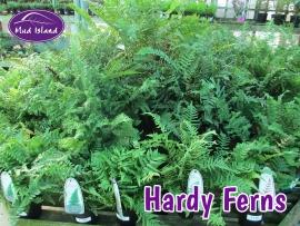 hardy-ferns-2