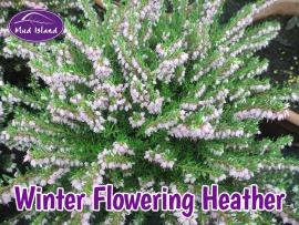 heather-winter-flowering-5