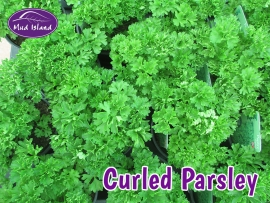 herbs-curled-parsley