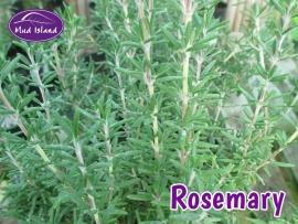 herbs-rosemary
