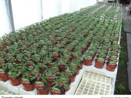 12-tomato-plants
