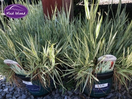 1_ornamental-grasses-4