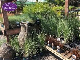 ornamental-grasses-11