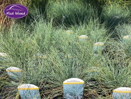 ornamental-grasses-5