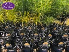 ornamental-grasses-6