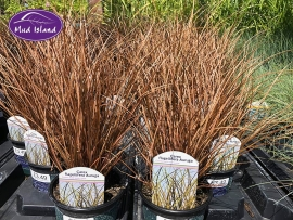 ornamental-grasses-8