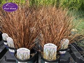 ornamental-grasses-8