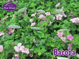 patio-and-basket-plants-bacopa