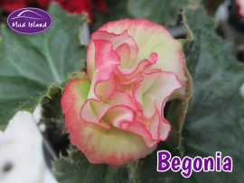 patio-and-basket-plants-begonia