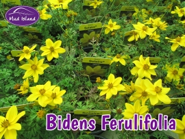patio-and-basket-plants-bidens-ferulifolia