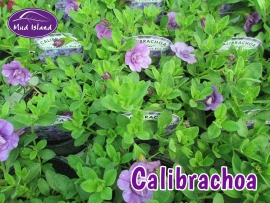 patio-and-basket-plants-calibrachoa
