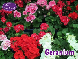 patio-and-basket-plants-geranium