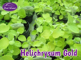 patio-and-basket-plants-helichrysum-gold