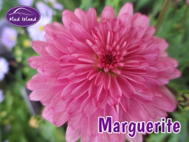 patio-and-basket-plants-marguerite-2