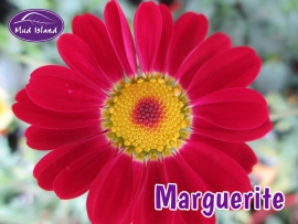 patio-and-basket-plants-marguerite